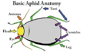 Aphid anatomy