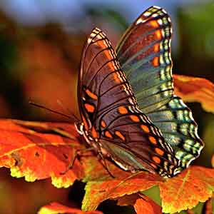Butterfly perched on fall leaves