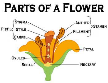 Graphic parts of a flower