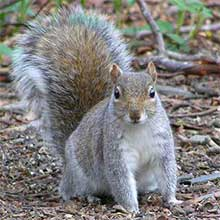 Eastern Grey Squirrel, Sciurus carolinensis
