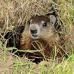 Groundhog emerging from its burrow