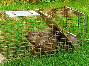 Groundhog in a Have-A-Heart trap