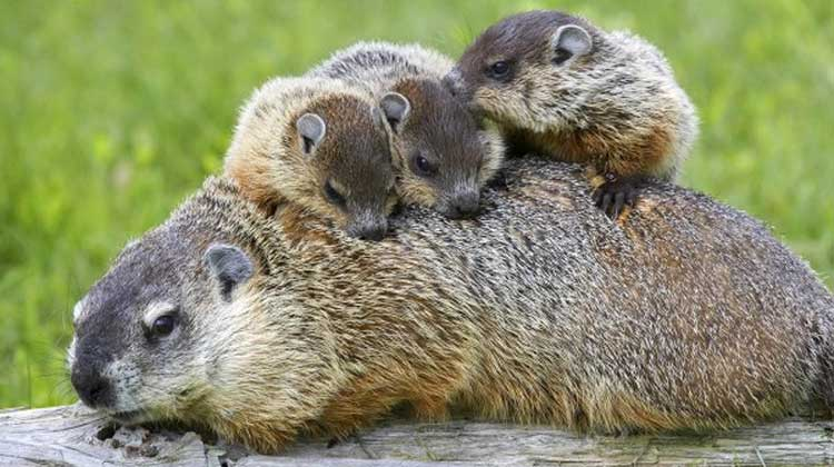 Groundhog, Marmota monax, mom and pups
