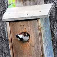 English Sparrow emerging from a nest box
