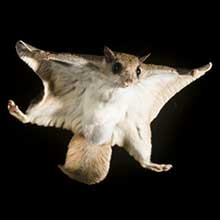 Southern Flying Squirrel, Glaucomys vilans