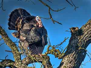 Wild turkey roosting in a tree