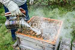 Beekeeper inspecting hive using a smoker