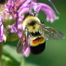 Rusty Patched Bumble Bee, Bombus affinis