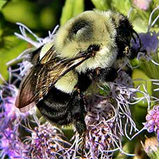 Common Eastern Bumble Bee, Bombus impatiens