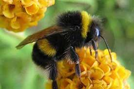 Bumble Bee, Bombus disambiguation