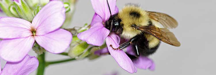 Eastern Bumble Bee, Bombus impatiens, on a flower