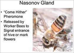 Graphic showing honey bee using navonov gland