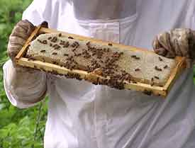 Beekeeper inspecting honeybee super