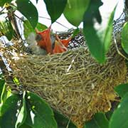 Orchard Oriole, Icterus spurius, with nest