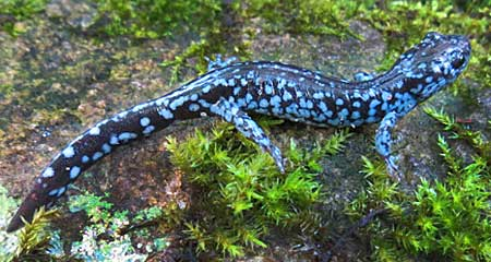 Blue-spotted Salamander, Ambystoma laterale