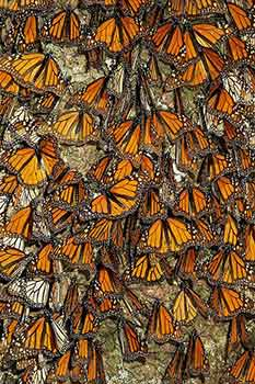 Monarch Butterfly Overwintering
