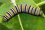 Caterpillar for Monarch Butterfly