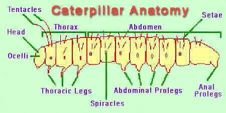 Caterpillar anatomy graphic