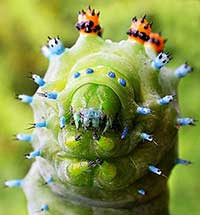 Caterpillar head closeup