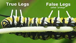 Caterpillar closeup of true legs and prolegs