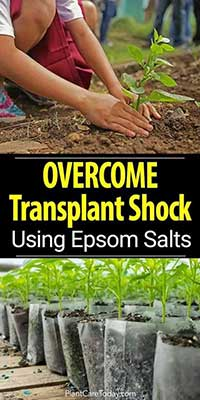 Overcome transplant shock with Epsom Salts