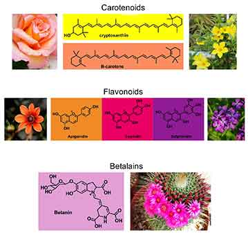 Graphic of flower color pigments