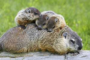 Groundhog or Woodchuck: Facts, Photos and Control