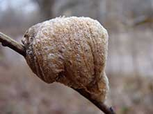Ootheca, Mantis egg case