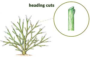 Heading cut for pruning graphic
