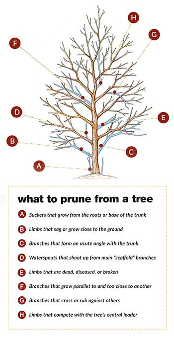 What to prune from a tree graphic