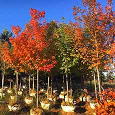 Tree nursery in fall