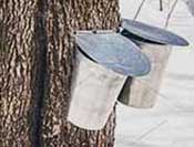 Tapping maple trees for maple syrup
