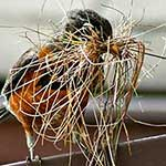 Robin with nesting materials