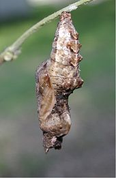 Chrysalis of Gulf Fruitillary Butterfly