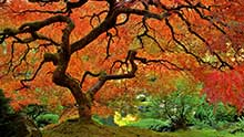 Red Oak Tree in Fall Color