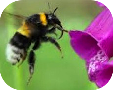 Pollination of Foxglove by Bumble Bee