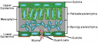 Leaf cell layers diagram