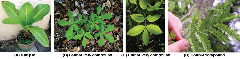 Leaf forms:  Simple, palmatively compound, pinnately compound and doubly compound