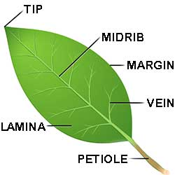 Leaf structure is deceptively simple