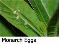Monarch Butterfly Eggs