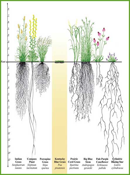 Roots of Native Plants
