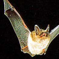 Northern Myotis Bat