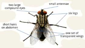 Fly anatomy/