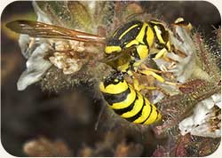 Pollen Wasp Flower Pollination
