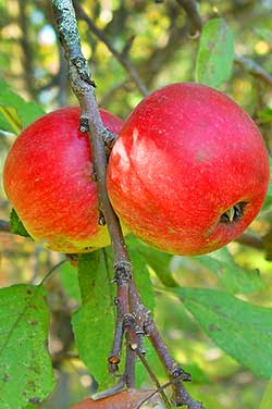 Apple, Malus pumila