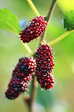 Red Mulberry, Morus rubra
