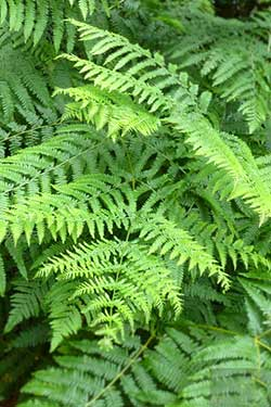 Royal Fern, Osmunda regalis